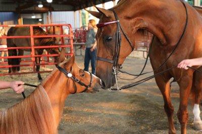 Equine Parade of Breeds